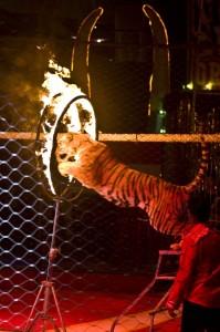 Tiger springt durch Feuerring